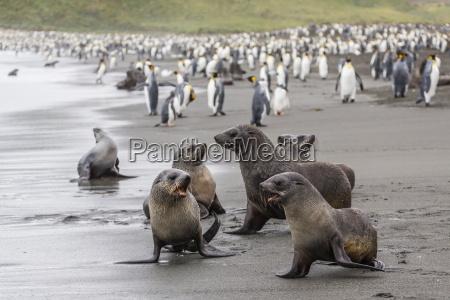 antarctic fur seal arctocephalus gazella pups