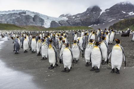 king penguins aptenodytes patagonicus breeding and