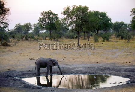 einsamer junger elefant trinkt an einem