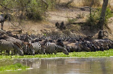 common plains zebra grants and buffalodrinking