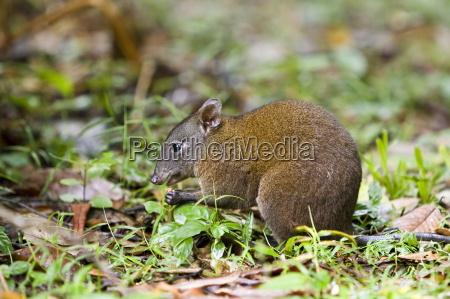 musky rat kangaroo isst nuss auf