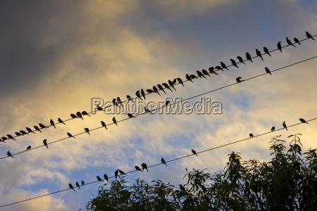 starlings queensland australia avian flu bird