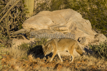 adult captive coyote canis latrans at