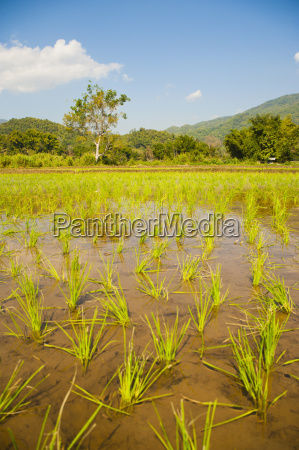 rice paddy field landscape in the