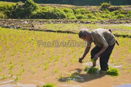 rice paddy field worker from the