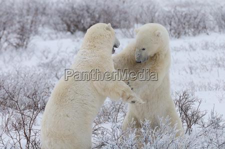 polar bears sparring wapusk national park
