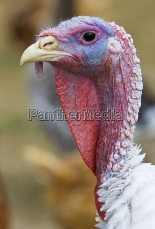 turkey gascony france free range birds