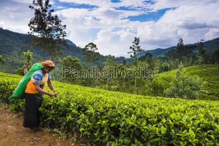 tea picker in a tea plantation