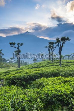 suise over tea plantations haputale sri