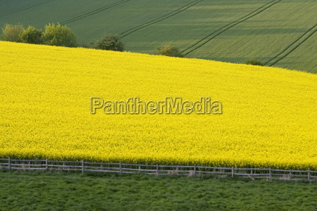 rape seed crop field stow on