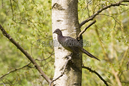 female pheasant perched in tree the
