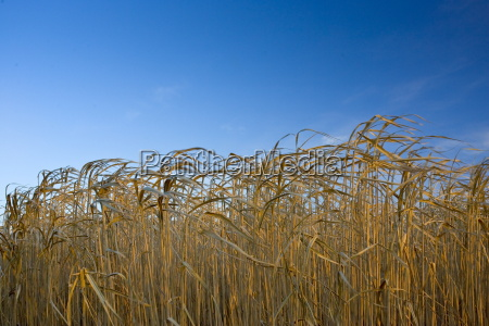 miscanthus elephant grass alternative energy crop