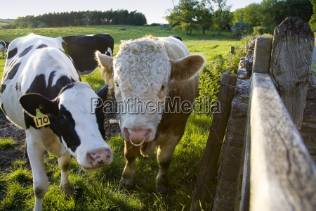 bull and friesian cow oxfordshire the