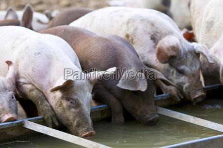 gloucester, old, spot, schweine, trinken, aus - 20824391