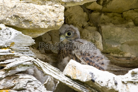 baby buzzard in barn asthall the