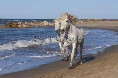 camargue horses running on the beach
