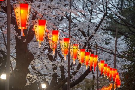 red lanterns illuminating the cherry blossom