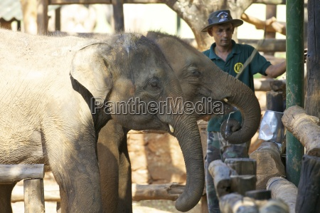 baby asian elephants being fed uda