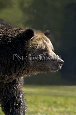grizzly bear ursus arctos horribilis grizzly