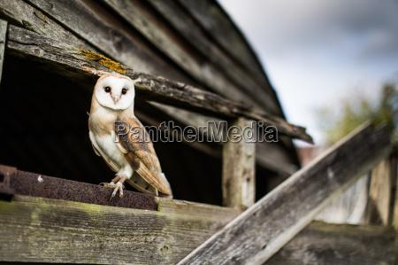 barn owl tyto alba wheatley oxfordshire