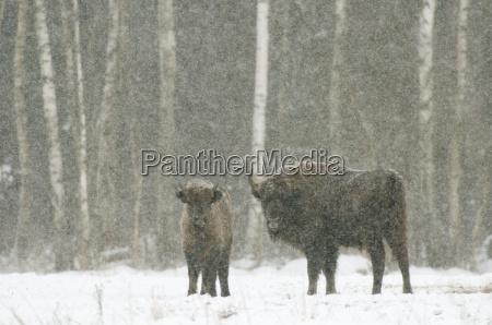 europaeisk bison bison bonasus kvinde med