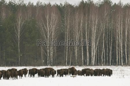 european bison bison bonasus herd walking