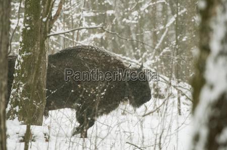 europäischer, bison, (bison, bonasus), stier, der, im - 20840637