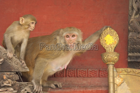 rhesus macaque monkey mother and baby
