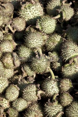 farbe asien indien fruechte frucht obst