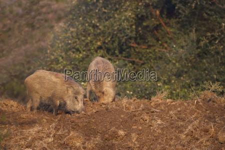 indian wild boar sus scrofa cristatus