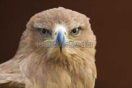 tier vogel braun braeunlich bruenett wild