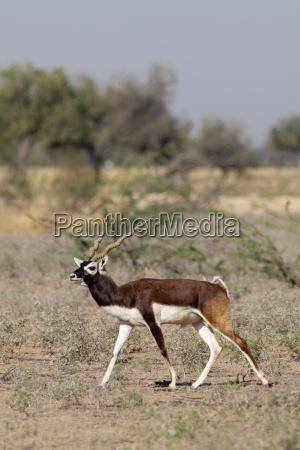 blackbuck male antelope antilope cervicapra near