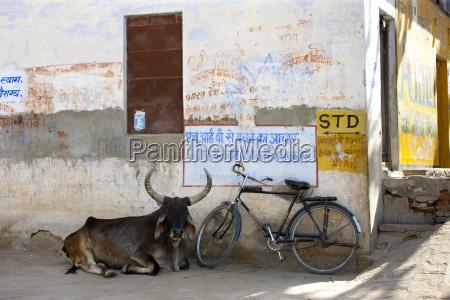 a bull lying near the hindu