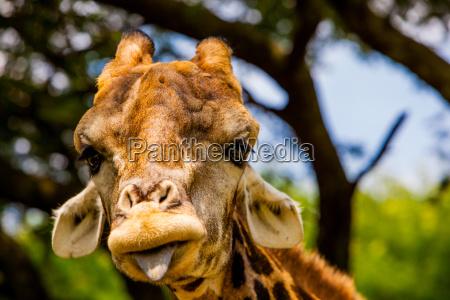 giraffe die ein lustiges gesicht kruger