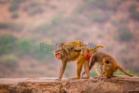 wild monkeys jaipur rajasthan india asia