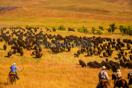 buffalo round up custer state park