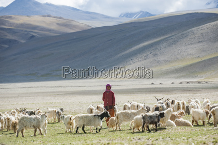 a nomad woman gathers her herd