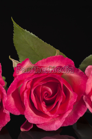 single flower of pink rose isolated
