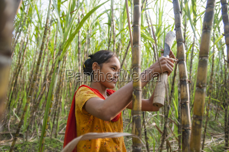a girl harvests sugarcane in the