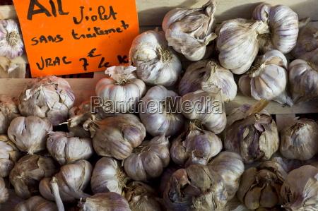 frischer knoblauch violett esel allium sativum