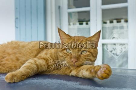 ginger cat resting on hot tin
