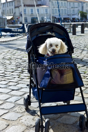 traditional french poodle pampered pet in