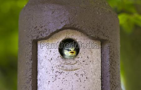 bluetit hungry young nestling bird awaits