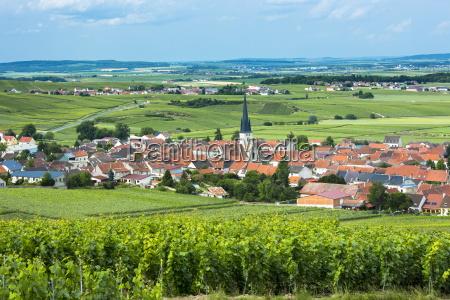 chardonnay vines at the village of