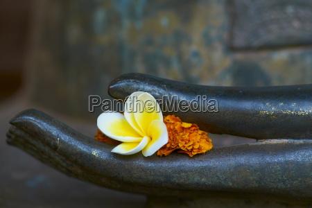 frangipani flower on hand of buddha