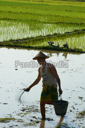 farmer in rice field near hpa