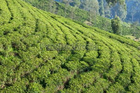 terraced fields on a ceylon tea