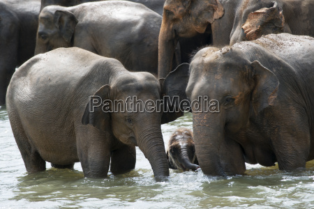 asian elephants bathing in the river