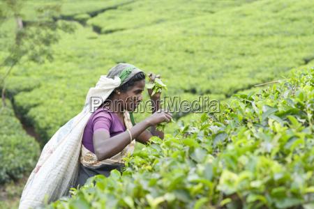 tamil woman plucking tea leaves dickoya