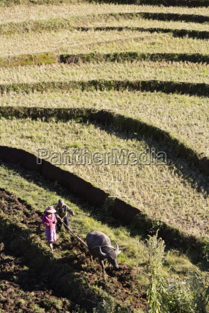 water buffalo ploughing terraced rice field